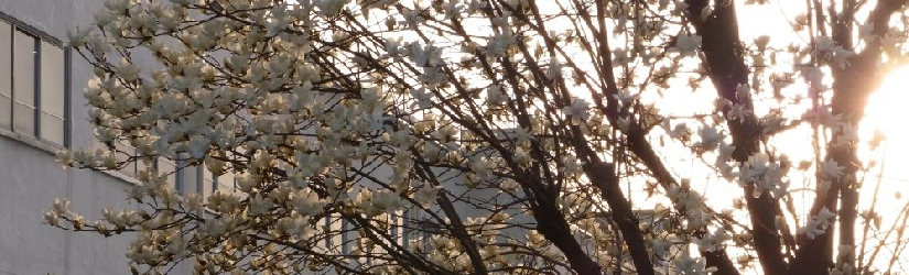 Looking out for the first signs of cherry blossoms